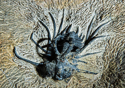 Photograph - Dicranurus Monstrosus Fossil by Millard H. Sharp