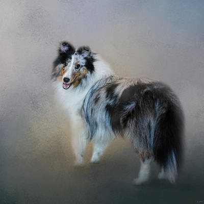 Photograph - Did You Call Me - Blue Merle Shetland Sheepdog by Jai Johnson