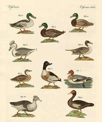 Domestic Duck Drawing - Different Kinds Of Ducks by Splendid Art Prints