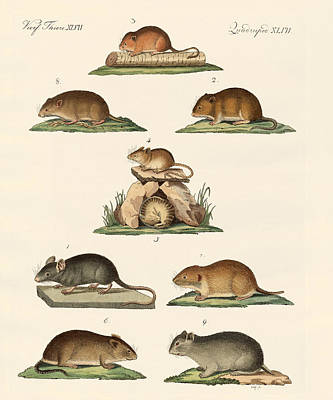 Hamster Drawing - Different Kinds Of Mice by Splendid Art Prints