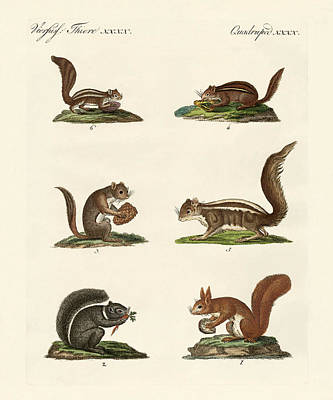Eastern Fox Squirrel Drawing - Different Kinds Of Squirrels by Splendid Art Prints