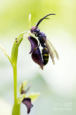 Imitation Photograph - Digger Wasp And Fly Orchid by Tim Gainey