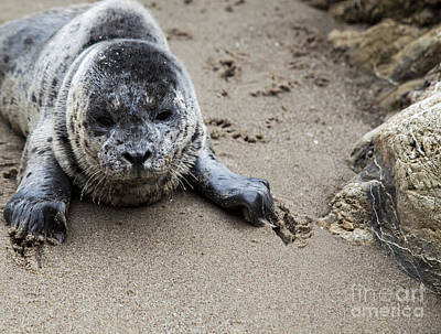 Photograph - Digging In The Sand by David Millenheft