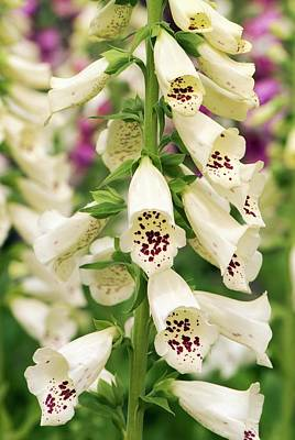 Foxglove Flowers Photograph - Digitalis Purpurea 'dalmatian Cream' by Adrian Thomas