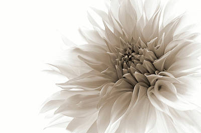 Dahlia Wall Art - Photograph - Dignified by Priska Wettstein