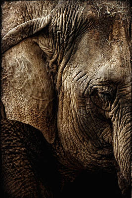 Photograph - Dignity Of Age In Asian Elephant Study by Lincoln Rogers
