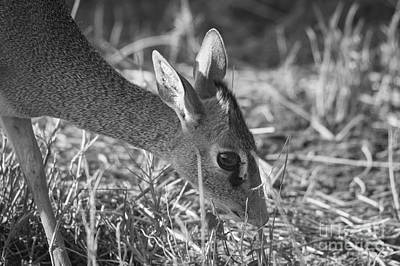 Photograph - Dik Dik Close-up by Howard Kennedy