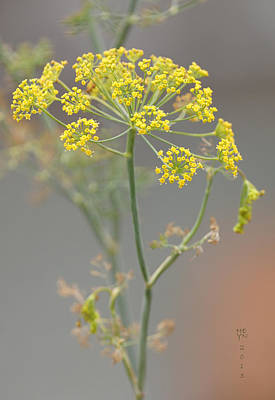 Photograph - Dill Blossom by Shirley Heyn