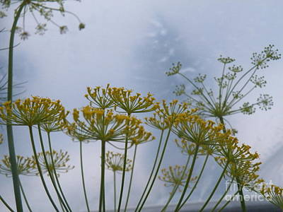 Photograph - Dill Dancing by Brian Boyle