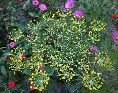 Photograph - Dill Flowers by MTBobbins Photography