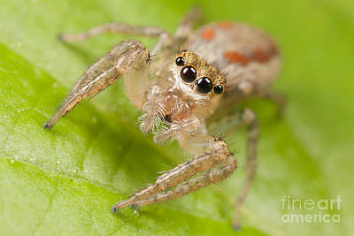 Spider Photograph - Dimorphic Jumper I by Clarence Holmes