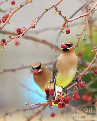 Cedar Waxwing Photograph - Dinner Date by Betty LaRue