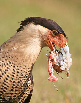 Photograph - Dinner For A Caracara by Ira Runyan