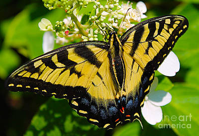 Photograph - Dinner For The Swallowtail by Nina Silver