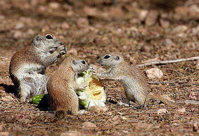 Round-tailed Ground Squirrel Photograph - Dinner For Three by Ruth Jolly