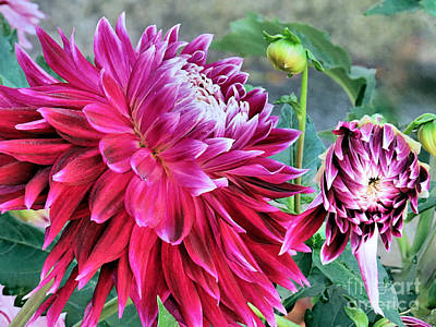 Photograph - Dinner Plate Dahlias by Janice Drew