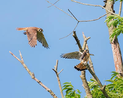 Hawk Photograph - Dinner Time For The Kestrels by Bill Wakeley