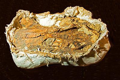 Photograph - Dinosaur Bones Wrapped For Shipping by Millard H. Sharp