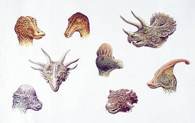 Paleozoology Photograph - Dinosaur Heads Compared by Deagostini/uig