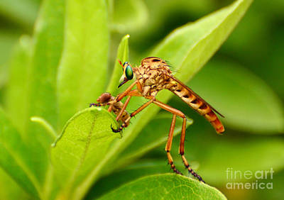 Photograph - Diogmites Robberfly With Prey by Kathy Baccari