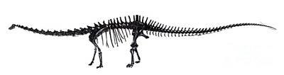 Diplodocus Dinosaur, Fossil Skeleton Art Print