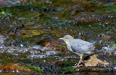 Photograph - Dipper by Michele Penner