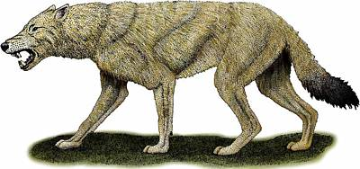 Photograph - Dire Wolf by Roger Hall