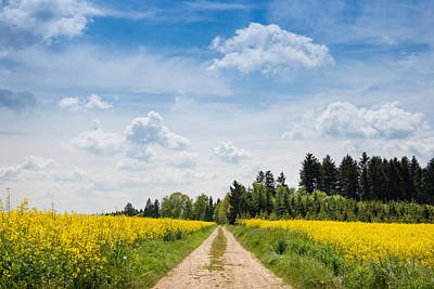 Rape Photograph - Dirt Road Passing Through Rapeseed by Panoramic Images