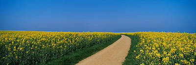 Dirt Roads Photograph - Dirt Road Running Through An Oilseed by Panoramic Images