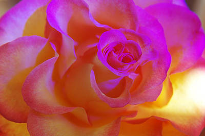 Photograph - Disco Rose   by Etti PALITZ