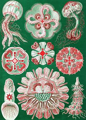 Discomedusae Jellyfish Art Print by Library Of Congress