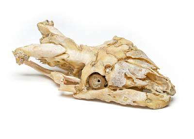 Reptiles Photograph - Diseased Python Skull by Ucl, Grant Museum Of Zoology