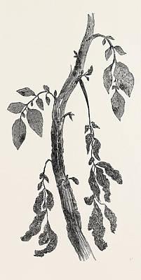 Potato Drawing - Diseased Stem Of A Potato Plant by English School