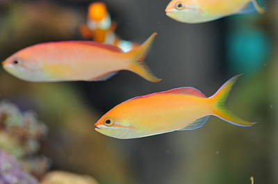 Photograph - Dispar Anthias by Puzzles Shum