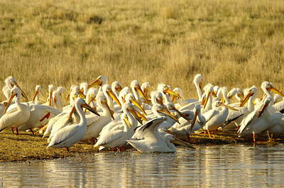 Disrupting The Pelican Socail Gathering Art Print by Jeff Swan