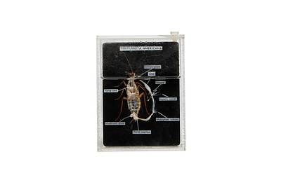 Dissected Cockroach Art Print by Gregory Davies
