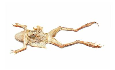 Anura Photograph - Dissected Frog by Ucl, Grant Museum Of Zoology