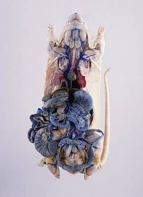Mice Photograph - Dissected Lab Rat With Intestines by Dorling Kindersley/uig