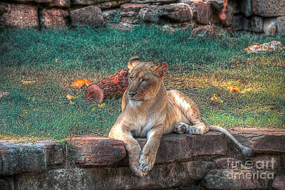 Lioness Photograph - Distance Stare by Hilton Barlow