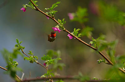Photograph - Distant Hummingbird by Tikvah's Hope