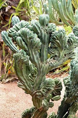 Distort Photograph - Distorted Cactus In Morocco. by Mark Williamson