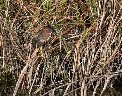 Photograph - Disturbed Little Green Heron Butorides Virescens by rd Erickson