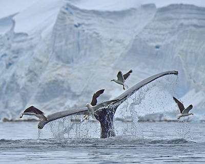 Flying Whale Photograph - Disturbed by Tony Beck