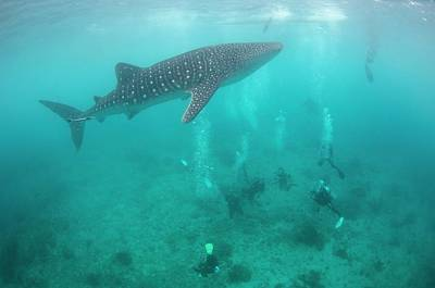 Whale Shark Photograph - Divers And Snorklers With A Whale Shark by Scubazoo