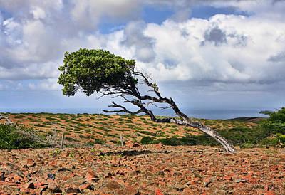 Featured Photograph - Divi Divi Tree by Marcia Colelli