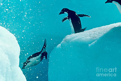 Photograph - Diving Adelie Penguins by Connie Bransilver