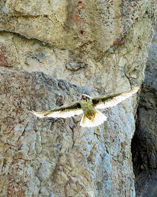 Photograph - Diving Falcon by Darcy Tate