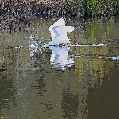 Great White Egrets Digital Art - Diving For Dinner by Suzanne Gaff