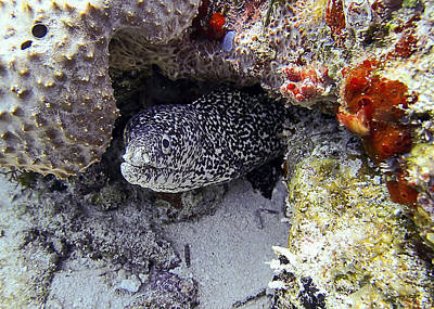 Photograph - Diving In Puerto Morelos - A Moray Eel by For Ninety One Days