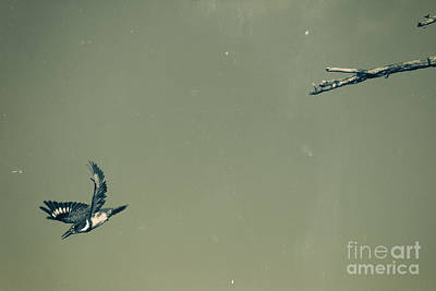 Kingfisher Photograph - Diving Kingfisher by Heidi Piccerelli